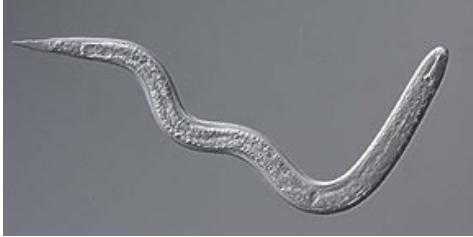 Инвазионная личинка соевой нематоды