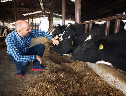 Работник фермы гладит корову домашнего скота